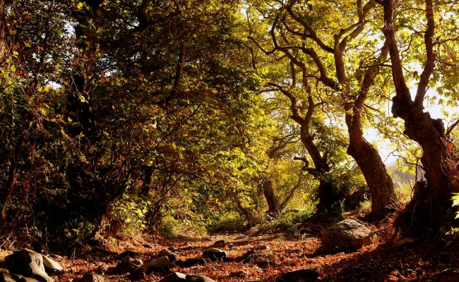 forest_Ikaria