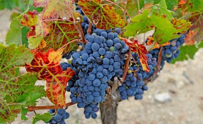 graip_for_wine_Ikaria